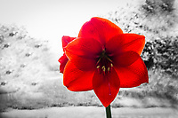 Deep red amaryllis flower open against a background converted to black and white.