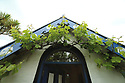 PPeter Emerson's grapevine which starts outside the house, goes though the house and exits and wraps around the top of outside his Rhubarb Cottage in North Belfast Wednesday July 3rd, 2019. (Photo by Paul McErlane for the Belfast Telegraph)