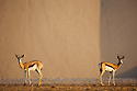 Namibia;  Namib Desert, Skeleton Coast, springbok (Andidorcas marsupialis) in Hoarusib River bed during dry season