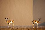 Namibia;  Namib Desert, Skeleton Coast, springbok (Andidorcas marsupialis) in Hoarusib River bed during dry season