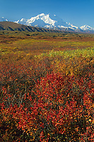 North Face Of 20, 3020+ Ft. Mt. Denali, Bearberry And Blueberry And Autumn Tundra, Denali National Park, Alaska.