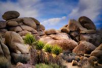 Joshua trees and boulders. Joshua Tree National Park, Californai