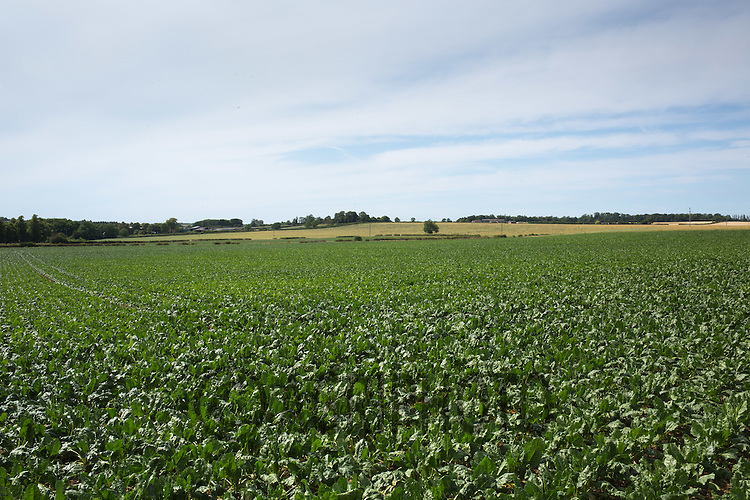 Sugar beet growing <br /> Picture Tim Scrivener 07850 303986<br /> &hellip;.Covering agriculture in the UK&hellip;.