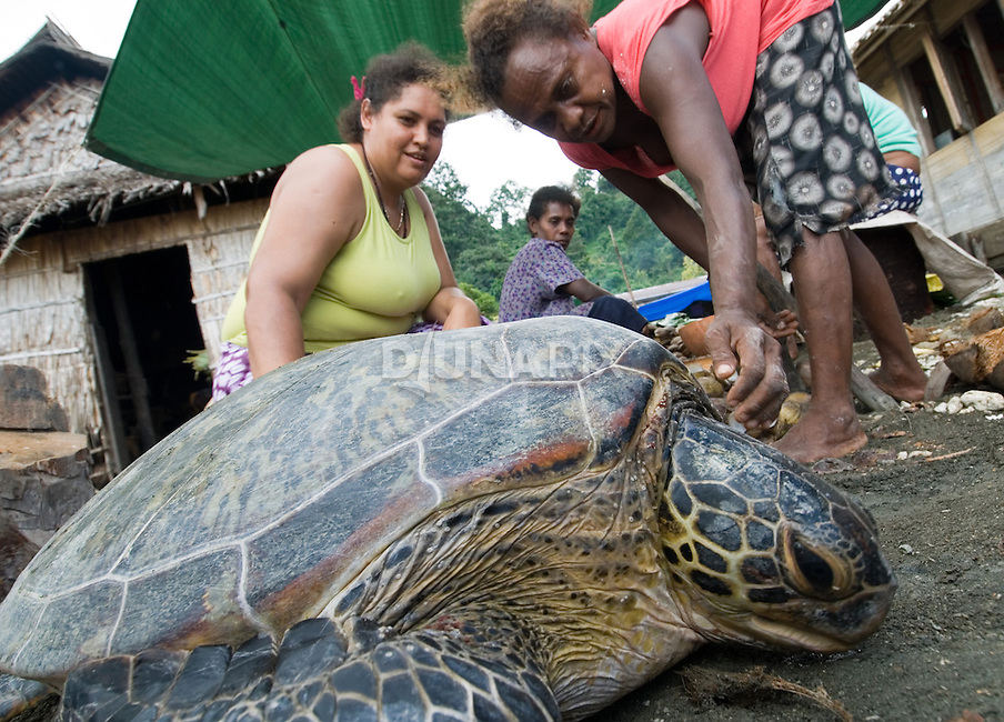 """Sea turtles are a highly traditional food throughout Oceania. Kia villagers now only eat them during ceremonies. For the funeral feast of """"Queen Victoria"""", they harvested 12, including this big old green turtle matriarch (Chelonia mydas). The turtles are kept alive and overturned until the day of the feast. This assures the meat will stay fresh, though a few of the women complain that it's hard to watch the turtles suffer."""