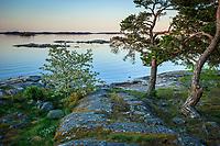 Tallar vid klipphäll på Gålö i Stockholms skärgård