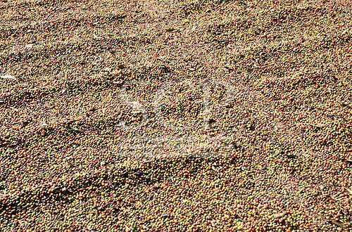 Sao Paulo State, Brazil. Coffee beans spread out to dry in the sun.