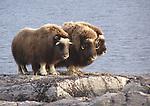 boeuf musqué Nunavut