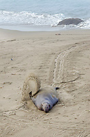 Northern Elephant Seal (Mirounga angustirostris) bull flipping sand over his body to help keep cool.  Central California Coast.  March.  The sand can also help sooth itchy skin.