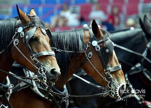 Horse teams in parade procession at the annual Cheyenne Frontier days Rodeo in Cheyenne, Wyoming.