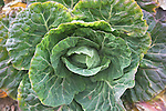 Cabbage growing looking down