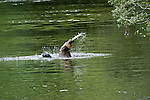 Grizzly bear swinging the fish over his head after catching it