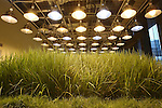 July 12, 2010 - Tokyo, Japan - A rice paddy inside the 'Urban Farm Pasona Group Headquaters' is pictured in Tokyo, Japan, on July 12, 2010. Aiming for an amicable working environment with 'Symbiosus with Nature' as a concept, more than 200 types of fruits and vegetables grow in the nine-floor building's verandas.