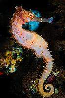 spiny seahorse or thorny seahorse, Hippocampus histrix, in sponge, Tuumben, Bali, Indonesia, Pacific Ocean
