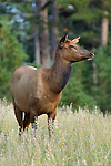 Cow Elk in Tall Grass