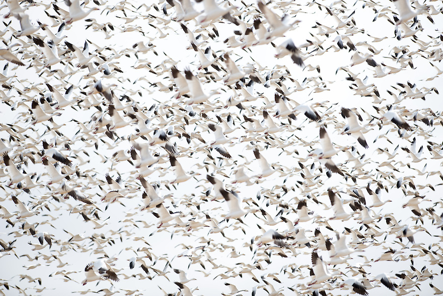 A flock of snow geese take flight at Freezout Lake Wildlife Management Area near Fairfield, Montana.