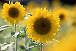 Europe, DEU, Germany, Northrhine Westphalia, Lower Rhine, Flowering sunflowers, Blossoms, Helianthus annuus....[ For each utilisation of my images my General Terms and Conditions are mandatory. Usage only against use message and proof. Download of my General Terms and Conditions under http://www.image-box.com or ask for sending. A clearance before usage is necessary...Material is subject to royalties. Each utilisation of my images is subject to a fee in accordance to the present valid MFM-List...Contact | archive@image-box.com | www.image-box.com ]