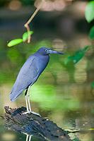 Black Heron, Cost Rica, Central America.