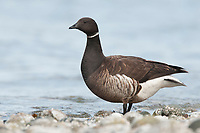 "Adult Brant (Branta bernicla) of the ""Black"" subspecies. King County, Washington. May."
