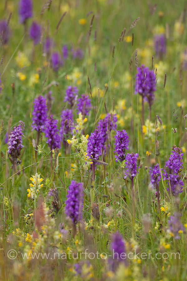 Orchideen-Wiese, Orchideenwiese, Orchideen, Knabenkraut, Fingerkraut, Dactylorhiza spec., Dactylorrhiza spec., Orchid, Blumenwiese mit Orchideen und Klappertopf
