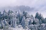 Frost on Trees, Great Smoky Mountains National Park, TN