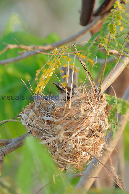 Noisy Friarbird (Philemon corniculatus) on nest, Queensland, Australia