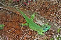 Smaragdeidechse, Smaragd-Eidechse, Östliche Smaragdeidechse, Lacerta viridis, green lizard, emerald lizard