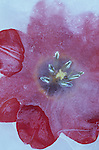 Deep red tulip with its petals open trapped in sheet of ice