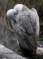 0216-08ss  Pruning African White-backed Vulture, Gyps africanus © David Kuhn/Dwight Kuhn Photography