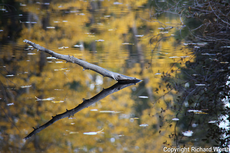 Golden fall leaves and a half submerged tree branch are reflected in the South Yuba River near Cisco Grove, CA.