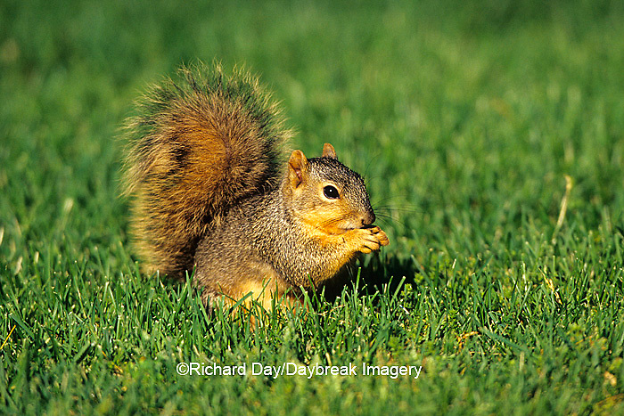 02013-007.20 Fox Squirrel (Sciurus niger) in yard eating seeds Marion Co. IL