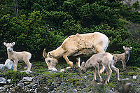 Bighorn sheep ewe and lambs (Ovis canadensis)