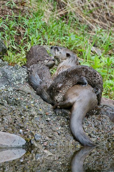 Northern River Otter (Lontra canadensis) nursing pups.  Western U.S., summer..