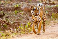 Bengal tiger, Panthera tigris tigris, walking on the dirt road, Tadoba Andhari Tiger Reserve, Tadoba Andhari National Park, Chandrapur, Maharashtra, India