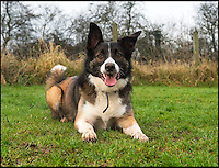 BNPS.co.uk (01202 558833)<br /> Pic: PhilYeomans/BNPS<br /> <br /> Lonely this Xmas, meet Bracken - Britains most unwanted pooch.<br /> <br /> Unloved Bracken has been at the Border Collie Trust in Staffordshire since August 2015 and despite being rehomed three times the unfortunate pooch just keeps coming back.<br /> <br /> BCT owner Ben Wilks says 'he's very strong and a little over exuberant, and like many dogs he doesn't like cats', 'but he'd make a lovely and loyal pet in the right home' <br /> <br /> Since March, there have been no takers for the playful pooch. He is house trained, knows basic commands, is good with other dogs and enjoys playing ball, but a series of unfortunate incidents have put off potential owners.<br /> <br /> Bracken was first brought into the Border Collie Trust in Heathway, Staffordshire, after his owner had a change of work situation which meant he was left home alone for long periods.<br /> <br /> Within three weeks, a new home was found for him, but the stay was very short-lived (just three days) because he chased their cat.<br /> <br /> Bracken was rehomed twice more but he found it stressful being in unfamiliar situations and his owners decided it was best he returned to the shelter.<br /> <br /> Ben Wilkes, a trustee at the Border Collie Trust in Staffordshire, says Bracken is no different to any other border collie. He just needs an owner who lives a quiet life.