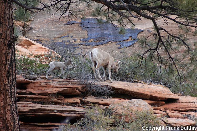 Ewe and lamb, bighorn sheep, Zion National Park