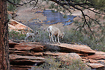 Ewe and lamb, bighorn sheep, Zion National Park