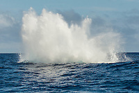 Vava'u, Kingdom of Tonga (Monday August 8 , 2016): A winters day overcast skies, moderate winds and clam seas was the perfect day for a whale watching  trip and the opportunity to swim with them in the waters off Vava'u harbour.   The conditions kept most of the whales on the move today with a number of breaches. Tonga is one of the few places in the world where you can swim with these magnificent creatures. The migrating whales are generally around from June to late October with a number of births happening in the Tongan waters. Photo: joliphotos