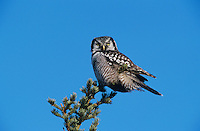 Northern Hawk Owl, Surnia ulula, adult on perch, Kenai Penninsula, Alaska, USA, March 2000