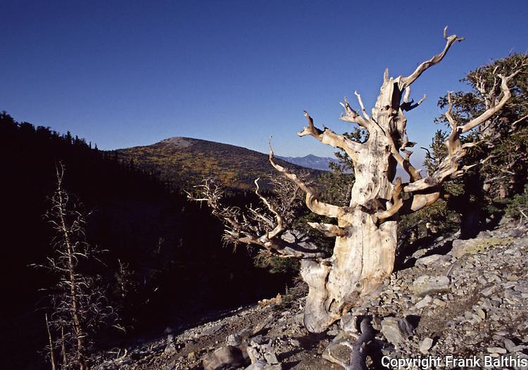 bristlecone pine trees, Scan 23L