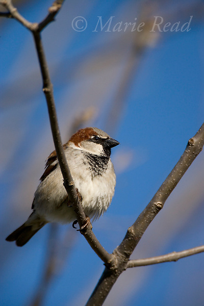 House Sparrow (Passer domesticus) male, Canastota, New York, USA, introduced species