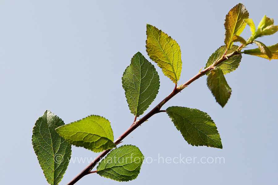 Schlehe, Schwarzdorn, Blatt, Blätter vor blauem Himmel, Prunus spinosa, Blackthorn
