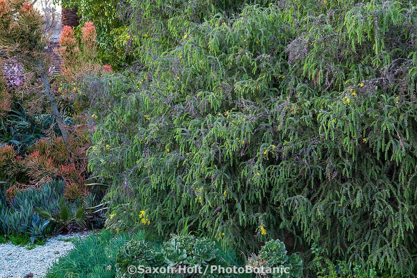 Acacia - Arlington Garden, Pasadena