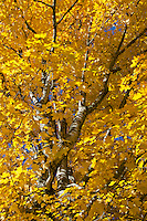 Soaring yellow maple tree in fall, Maine, USA