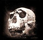 Prehistoric skull of early human ancestry. Homo Ergaster.
