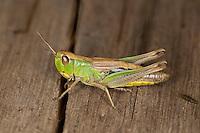 Gemeiner Grashüpfer, Chorthippus parallelus, Chorthippus longicornis, common meadow grasshopper