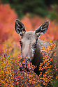 Alaska, Denali National Park, cow moose amongst dwarf birch bushes in fall colors, rutting season