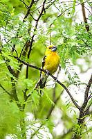 Yellow Grosbeak,Pico Gordo Amarillo , Pheuticus  chrysopeplus (nombre cient&iacute;fico), Es  end&eacute;mico en el oeste de Mexico en la Sierra Madre y hasta el Sur de Guatemala. Se reproduce en el Norte de sonora. <br /> <br /> ****<br /> Reserva Monte Mojino (ReMM) de la Natural Culture International (NCI)<br /> <br /> Credito:LuisGutierrez