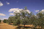 Israel, Negev, Olive grove in the desert