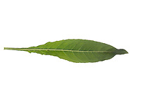 Nachtkerze, Gewöhnliche Nachtkerze, Zweijährige Nachtkerze, Oenothera biennis, Common Evening Primrose, Evening-Primrose, Evening star, Sun drop, Onagre. Blatt, Blätter, leaf, leaves