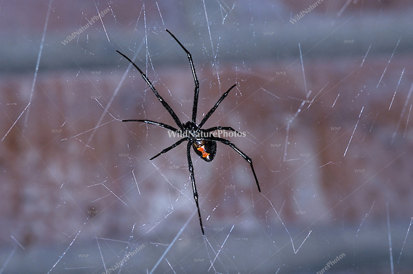 Black Widow, Latrodectus hesperus, female on  web